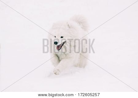 Beautiful Samoyed dog breed is running on the white snow in winter