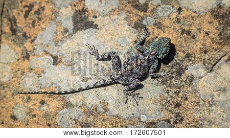 Southern Rock Agama lizard in Table Mountain National Park in Cape Town, South Africa