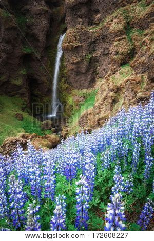 Typical Iceland landscape with waterfall and lupine flowers.