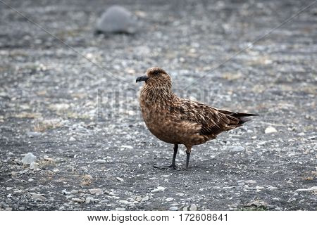 Skua bird in Iceland coast
