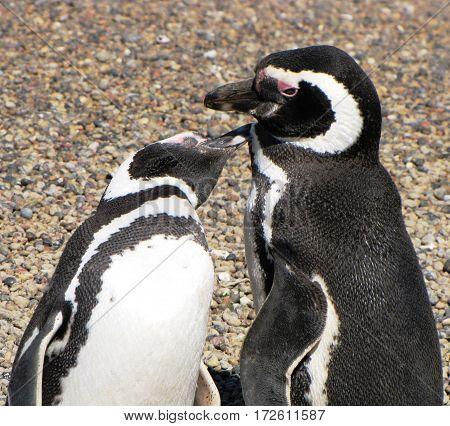 Penguins kissing in Punta tombo, Chubut, Argentina.