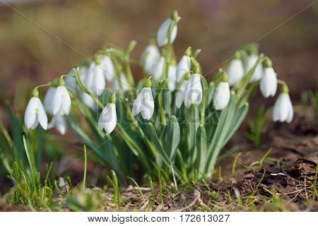First spring flowers. Bush white snowdrops. Primroses in meadow in the mountains. Sunny day
