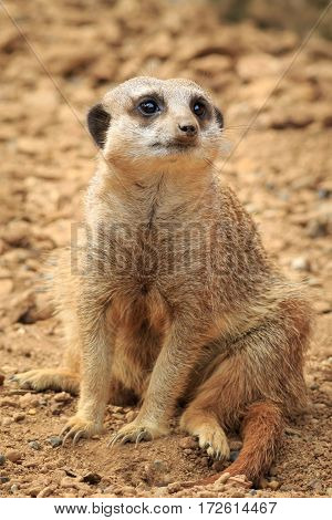 Meerkat (Surikate) on the lookout close up