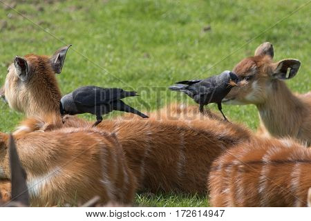 jackdaw collecting nesting material from a sitatunga's back