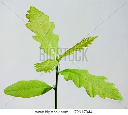 Young plant of oak isolated on white