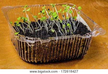 Growing seedlings from seed first sprouts. Mini garden in a small plastic box.