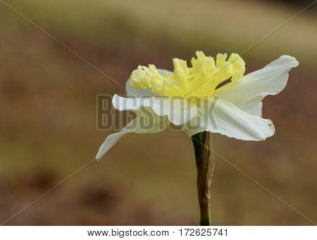 Single upturned daffodil flower in full bloom