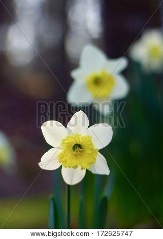 Trio of daffodils in full bloom in wood setting