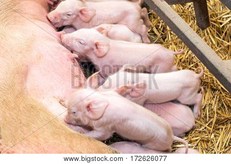 Newborn Piglets Suckling The Sow's Milk