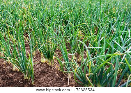 Closeup of rows of organically grown shallot onions in open ground almost ready for harvest.