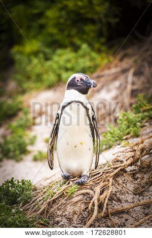 African Penguin Cape Peninsula