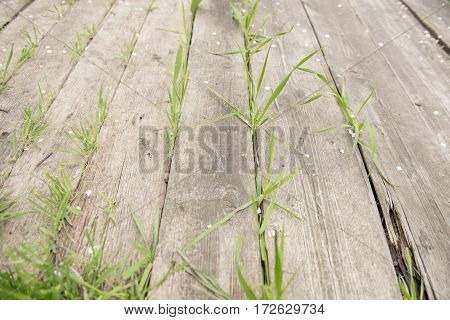 Brown weathered wooden floor with green grass growing through cracks between the boards background photo texture
