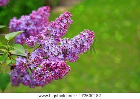 Close-up beautiful lilac flowers with the leaves. Lilac on the green background. Branch with spring lilac flowers.