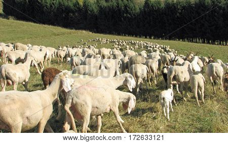 Flock With Many Sheep With Long White Fleece Grazing