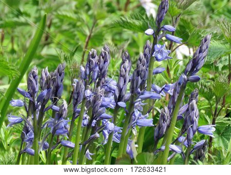 Clump of bluebells in a green field