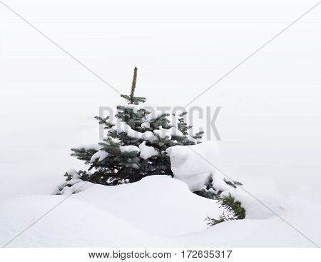 Small winter fir tree covered by snow white bakcground
