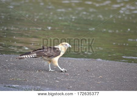 A yellow-headed carcara ( a member of the hawk family) walks the bank of a river in Costa Rica