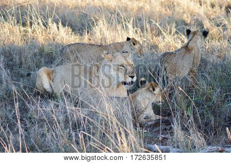 A Lioness and her three lion cub in West Tsavo Park in Kenya