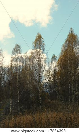 Bright Clouds Over The Autumn Birch Grove