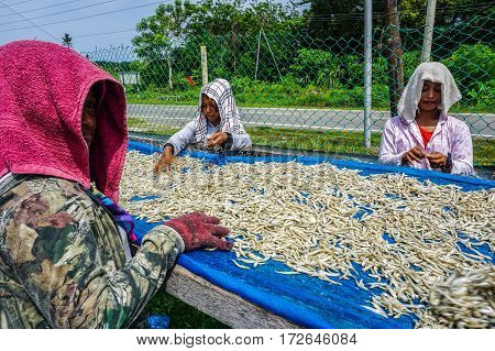 Labuan,Malaysia-April 26,2016:The workers processes the fresh anchovies for sun drying on the net of Labuan island,Malaysia.Dried anchovies sambal is the main condiment for Malaysian coconut infused,nasi lemak.