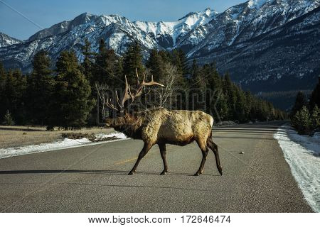 Elk crossing on the way to Maligne Canyon in Jasper National Park poster
