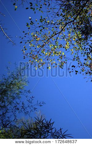 Blue sky and gold leaf in deciduous forest