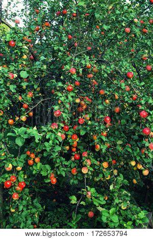 Plenty Of Fruit On The Apple Tree At Full Frame