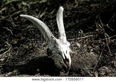 The Skull Of A Goat Lying On The Ground