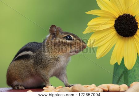 Adorable Eastern Chipmunk (Tamias Striatus) stands next to a lemon sunflower with a beautiful green background