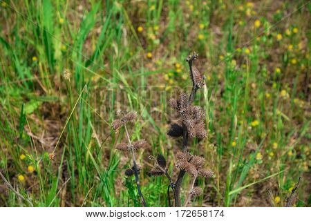Dry thorny wild plant on blurred grass background