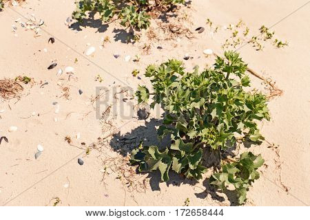Green thorny bush on sand shore background