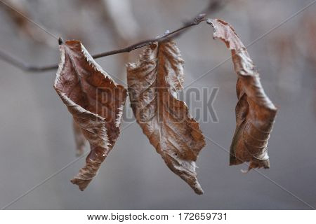 Three dried leaves, hanging on a branch