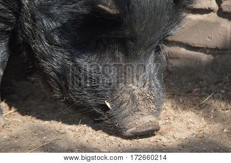 black guinea hog snout down in dirt