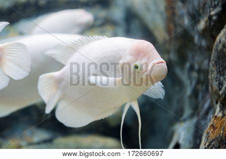 Giant Gourami Fish, Fresh Water