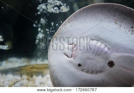 Closed Up Of Mouth  Stingrays Fish