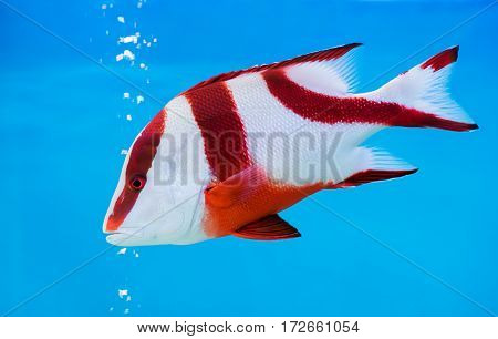 Emperor Red Snapper Fish On Blue Background