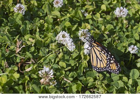Close up of a colorful monarch butterfly as it drinks nectar from a fragrant white clover flower in summertime