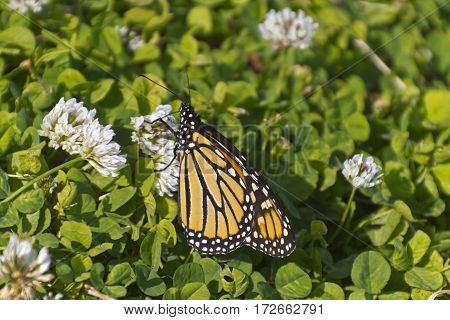 Close up of a colorful monarch butterfly using its proboscis to sip nectar from fragrant white clover flowers in summertime