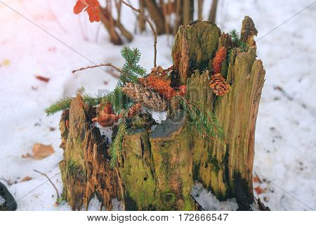 Old stump felled tree with pine cones and fir tree branches close-up in winter forest.