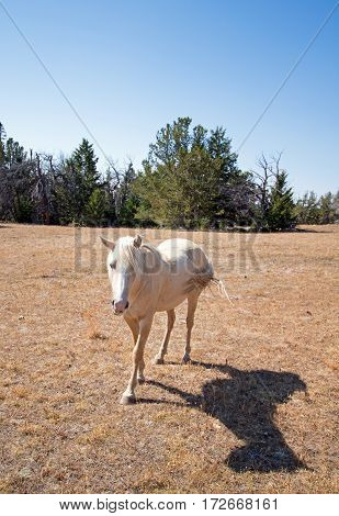 Palomino Mare on Tillett Ridge in the Pryor Mountain Wild Horse Range on the Wyoming Montana border - USA