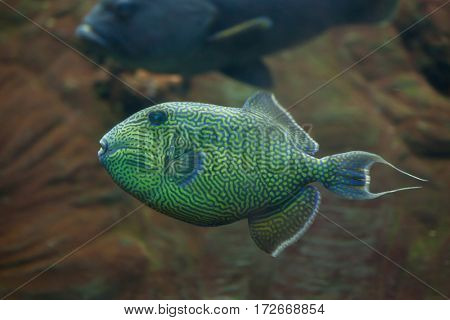 Yellow-spotted triggerfish (Pseudobalistes fuscus), also known as the blue triggerfish.
