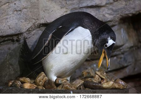 Gentoo penguin (Pygoscelis papua). Wildlife animal.