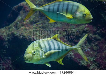 Golden trevally (Gnathanodon speciosus), also known as the golden kingfish.