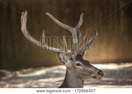 Spanish red deer (Cervus elaphus hispanicus), also known as the Iberian red deer.