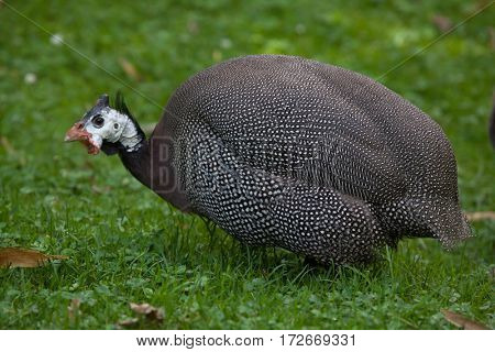 Domesticated guineafowl (Numida meleagris f. domestica).