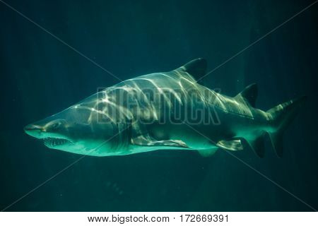 Sand tiger shark (Carcharias taurus), also known as the grey nurse shark.