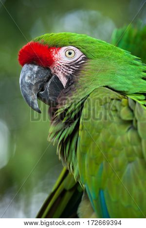 Green military macaw (Ara militaris).