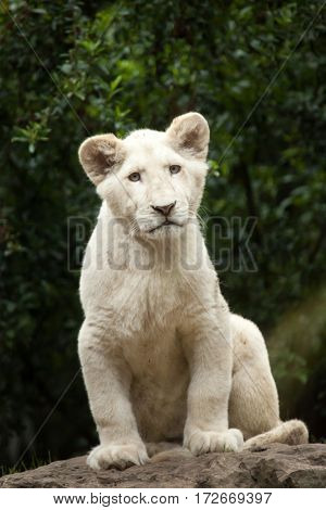 White lion cub. The white lion is a colour mutation of the Transvaal lion (Panthera leo krugeri), also known as the Southeast African or Kalahari lion. poster