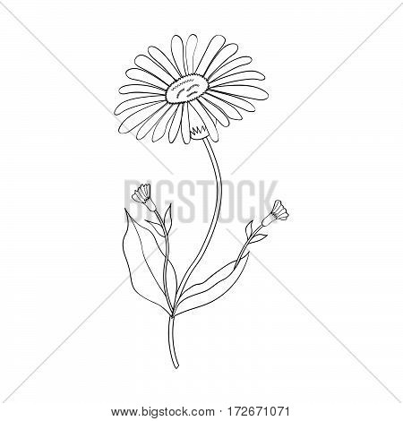 Arnica. Vintage medicinal herb sketch. Botanical plant illustration isolated.