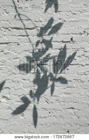 Tree And Leaves Shadow On White Texture Wall